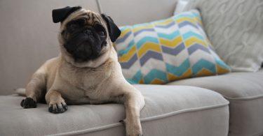 5-racas-de-cachorro-mais-recomendadas-para-apartamento.jpeg